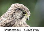 portrait of a common kestrel | Shutterstock . vector #668251909