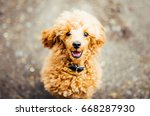 Brown Cute Poodle Puppy Sittin...
