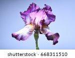 purple iris on a purple...   Shutterstock . vector #668311510