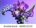 purple iris and purple lupine...   Shutterstock . vector #668311513