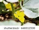 Flower Of A Cantaloupe Melon...