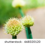 view beautiful of onion flower...