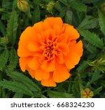 isolated orange marigold flower | Shutterstock . vector #668324230