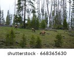 Small photo of American Elk or wapiti ((Cervus canadensis) grazing in a meadow near Stanley, Idaho in the Sawtooth Mountains.