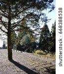 hardy old pines vigorous next... | Shutterstock . vector #668388538
