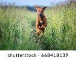 Stock photo running rhodesian ridgeback dog 668418139