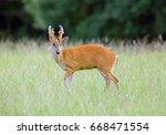 Barking Deer  Muntjac