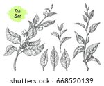 set of tea bush branches with... | Shutterstock .eps vector #668520139