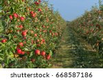 trees full with ripe red apples ... | Shutterstock . vector #668587186