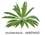 strange banana tree isolated on ...   Shutterstock . vector #66859603
