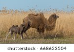 A Camel With A Baby Against A...