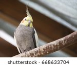 Grey And Yellow Parakeet On Th...