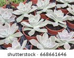 echeveria glauca   Shutterstock . vector #668661646