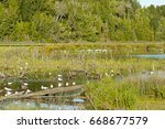 brown hooded gull colony   chile | Shutterstock . vector #668677579