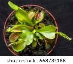 Small photo of exotic insect-eating predator flower Venus flytrap dionaea isolated on black background.