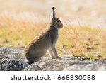 Lepus Timidus. Mountain Hare...