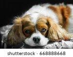 brown white cavalier king... | Shutterstock . vector #668888668