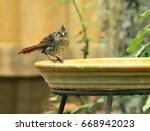 Juvenile Northern Cardinal Bird ...