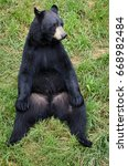 Small photo of American Black Bear sitting in the grass passing time