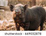 household a small black pig... | Shutterstock . vector #669032878