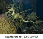 A Leafy Sea Dragon at the Aquarium of the Pacific. - stock photo
