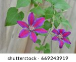 Red And Purple Clematis...