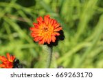 One Orange Hawkweed Flower ...