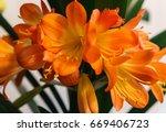 Clivia  Clivia  Is A Genus Of...