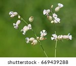 Small photo of Silene vulgaris, known as the bladder campion or maidenstears