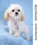 Teacup white poodle with blue background and coal black eyes and nose and apricot ears. - stock photo