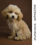 Apricot toy pure bred poodle puppy in a teddy bear clip with a brown background in sitting position. - stock photo