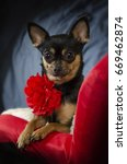 Black and tan Chihuahua posing with perky ears wearing a red carnation neck decoration on a red chair. - stock photo