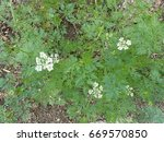 Small photo of Aethusa cynapium (fool's parsley, fool's cicely, or poison parsley) is an annual (rarely biennial) herb in the plant family Apiaceae.