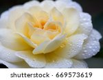 close up of yellow rose with... | Shutterstock . vector #669573619
