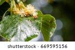 Ladybug Creeps On A Leaf Of A...