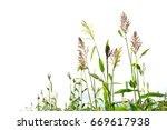 closeup of a sorghum bicolor on ... | Shutterstock . vector #669617938