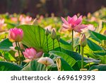 Lotus Flowers   Nelumbo...
