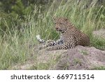Leopard Lying On Top Of Ant Hill