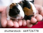 Stock photo little guinea pigs is a popular pet guinea pig babies care for guinea pig babies best child pet 669726778