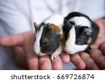Stock photo little guinea pigs is a popular pet guinea pig babies care for guinea pig babies best child pet 669726874