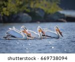 Flock Of White Pelicans In...