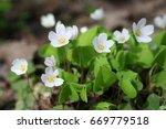 Oxalis. Oxalidaceae Family....