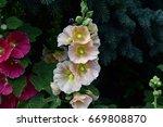 hollyhock   Shutterstock . vector #669808870