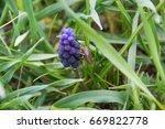Grape Hyacinth   First Daffodi...