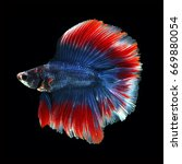 Small photo of Doubletail Betta on black background. Beautiful fish. Swimming flutter tail flutter.