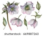 Watercolor Set Of Hellebore...