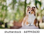 Shetland Sheepdog Lying On A...