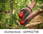 hands of famer holding tomato... | Shutterstock . vector #669962758