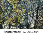 bunches of white cherry... | Shutterstock . vector #670013554