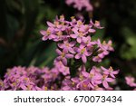 "Small photo of ""Rosepink"" flowers (or American Centaury, Centauree Americaine) in St. Gallen, Switzerland. Its Latin name is Sabbatia Angularis (Syn Centaurium Littorale and Sabatia Campanulata), native to USA."